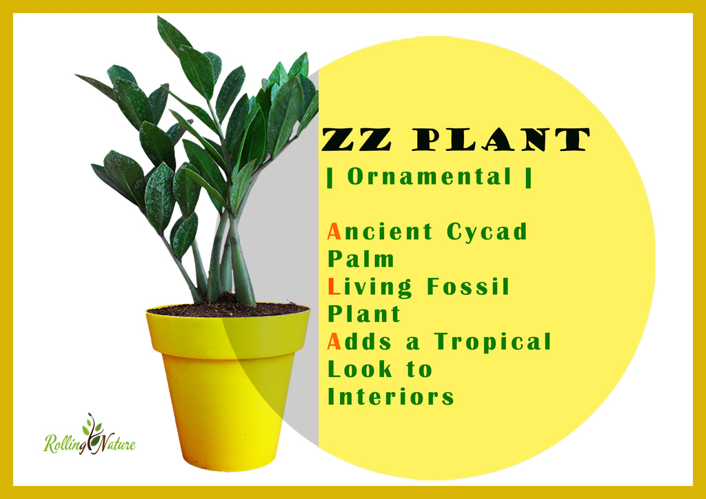 Everything You Need to Know About ZZ Plant