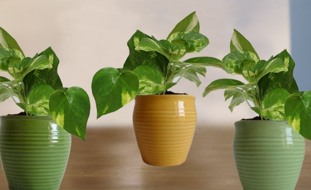 lucky bamboo plants for sale with Money Plant Vastu And Feng Shui Tips on How To Plant Bamboo also Buy Monstera Deliciosa Plants Online India additionally Potted Plants together with Yucca Plant 2 Canes likewise Bambusa.
