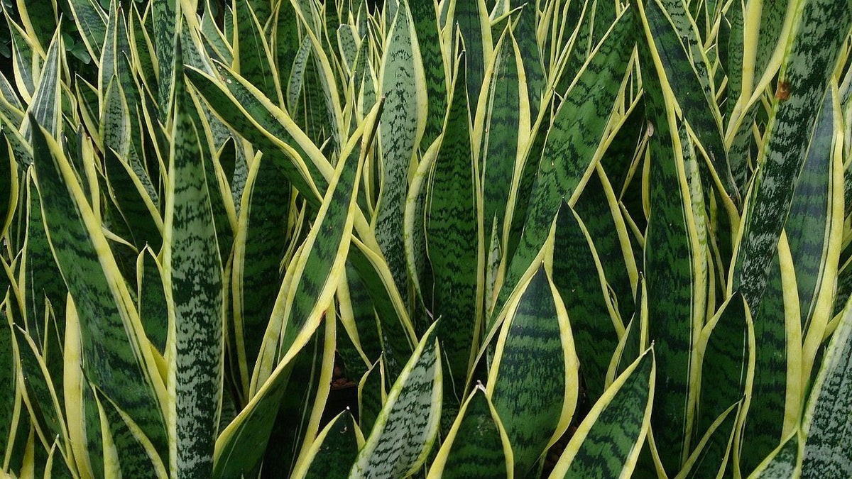 Sansevieria Plant Feng Shui snake plant: everything you need to know – rollingnature