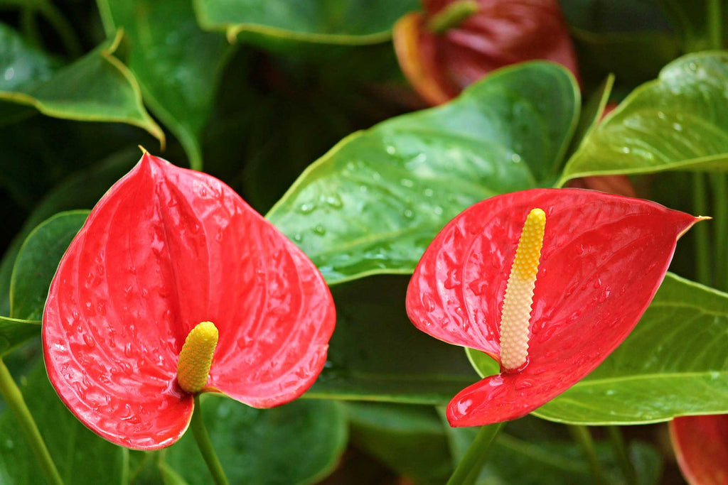 Anthurium : Perfect Houseplant for Gifting