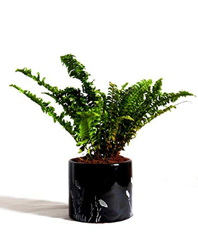 Boston Fern, Ferns,  Plants Online, India, Indoor Plants, House Plants, Feng Shui, Vastu, Air Purifying