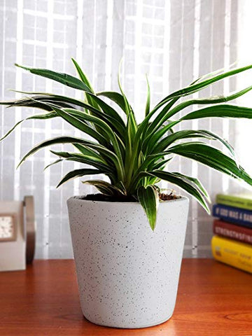 Spider Plant, Chlorophytum, Plants Online, India, Indoor Plants, House Plants, Feng Shui, Vastu, Air Purifying