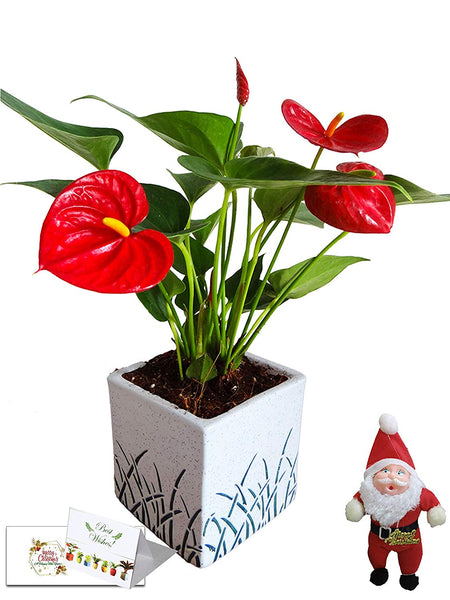 Christmas Tree, Gift, New Year, Live, Plants, Indoor, Corporate, Personalized, Customized, Xmas, Christmas, New Year, Anthurium