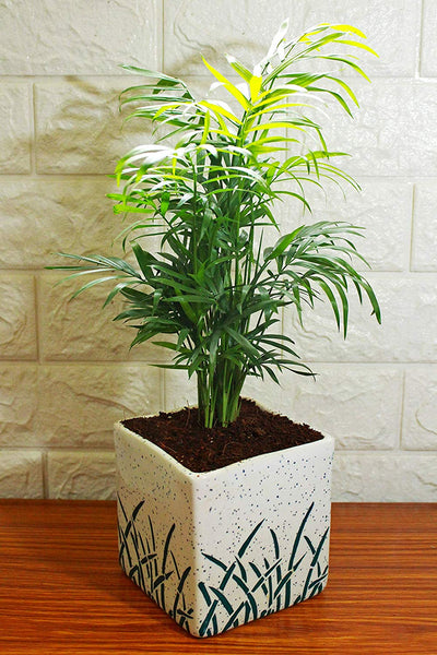 Christmas Tree, Gift, New Year, Live, Plants, Indoor, Corporate, Personalized, Customized, Palm, Chamaedoraea, Parlour, Parlor, Bamboo