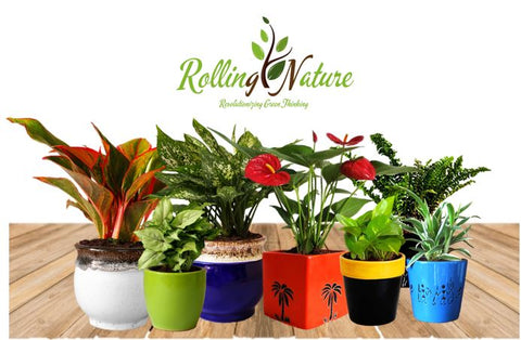 Plants Online, Shopping, India, Live Plants, Indoor, House Plants, Good Luck, Air Purifying, Crassula, Jade, Money Plant