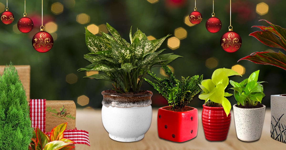Plants, Decorative, Ornamental, Air purifying, Live Plants, Natural, Indoor, Plants, Feng Shui
