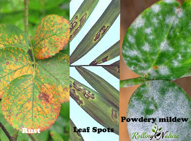 Pest, Fungus, Attack, Measures, Home, Remedy, Diseases, Plants, House, Indoor, India, Aphids, Termites, Mealy, Bugs, Treatment