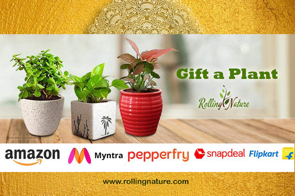 Rolling, Nature, Green, Plants, India, Gift, Gifting, Occasion, Online, Best, Indoor, Customized, Ceramic, Pots, Planters, Houseplants, Dew, Round, Square, Good, Luck, Vastu, Air Purifying, Low, Maintenance,