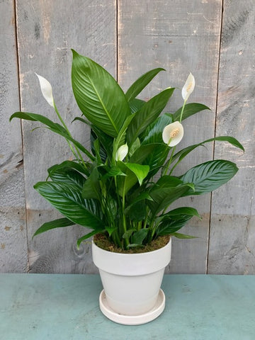 Peace Lily, Spathyphylum,  Plants Online, India, Indoor Plants, House Plants, Feng Shui, Vastu, Air Purifying