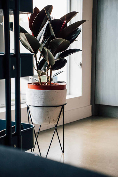 Fiddle, Fig, Plant, Indoor, Best, Home, Decor, Rolling, Nature, Lorena, Romo, Porch, Air, Purifier