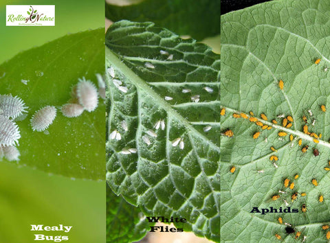 Rolling Nature, Mites, Spiders, Insects, Mildew, Pest, Pests, Fungal, Aphids, White Flies, Mealy Bugs, Control, Care, Plants, Home Remedies, Solutions, Guide,