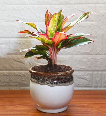 Aglaonema, Chinese Evergreen, Lipstick Red,  Plants Online, India, Indoor Plants, House Plants, Feng Shui, Vastu, Air Purifying