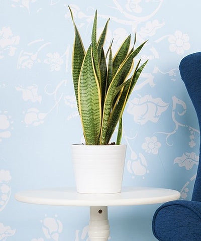 Snake Plant, MILT, Sensivieria, Plants Online, India, Indoor Plants, House Plants, Feng Shui, Vastu, Air Purifying