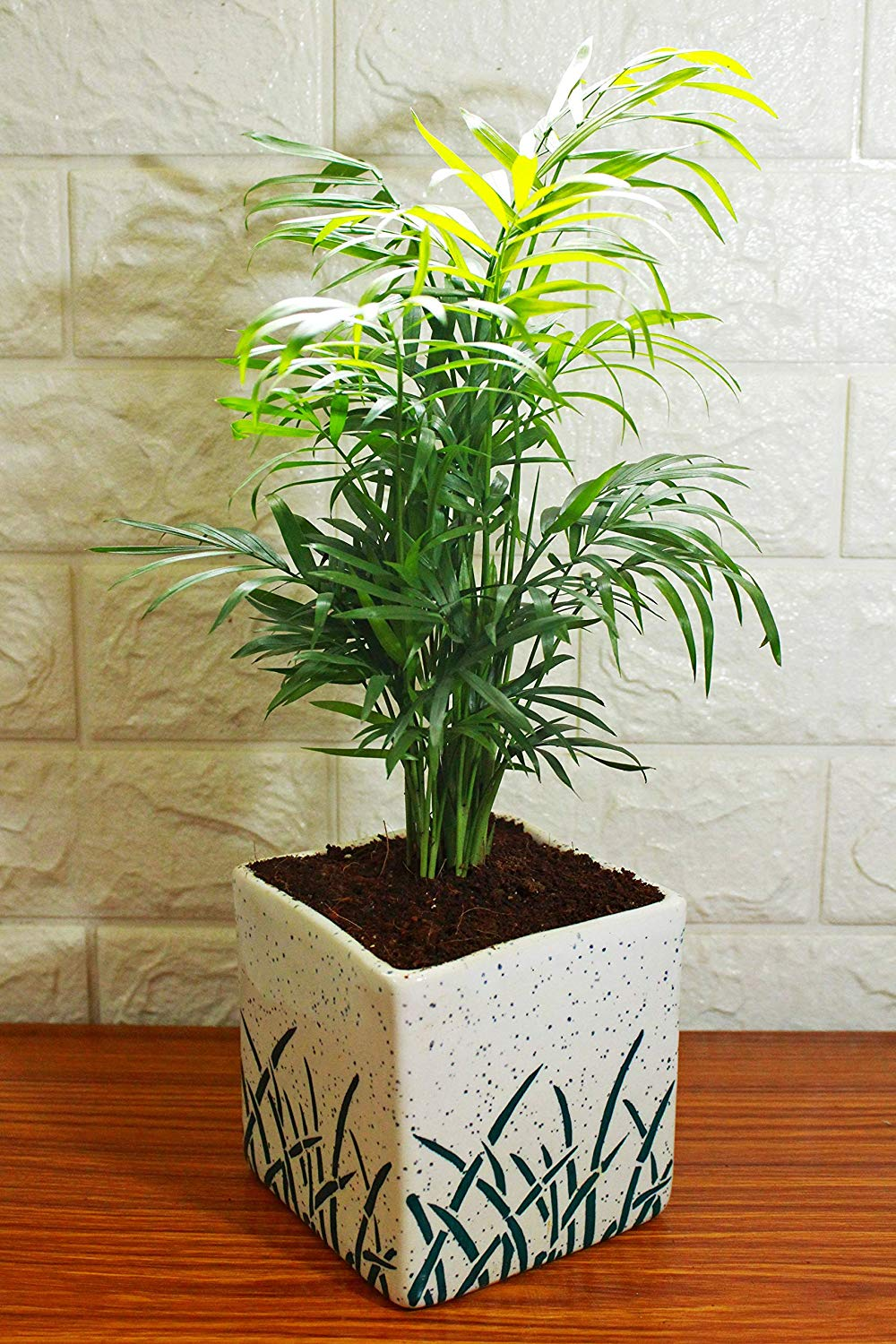 Air Purifying Parlour Palm Chamaedorea Elegans in White Cube Aroez Ceramic Pot