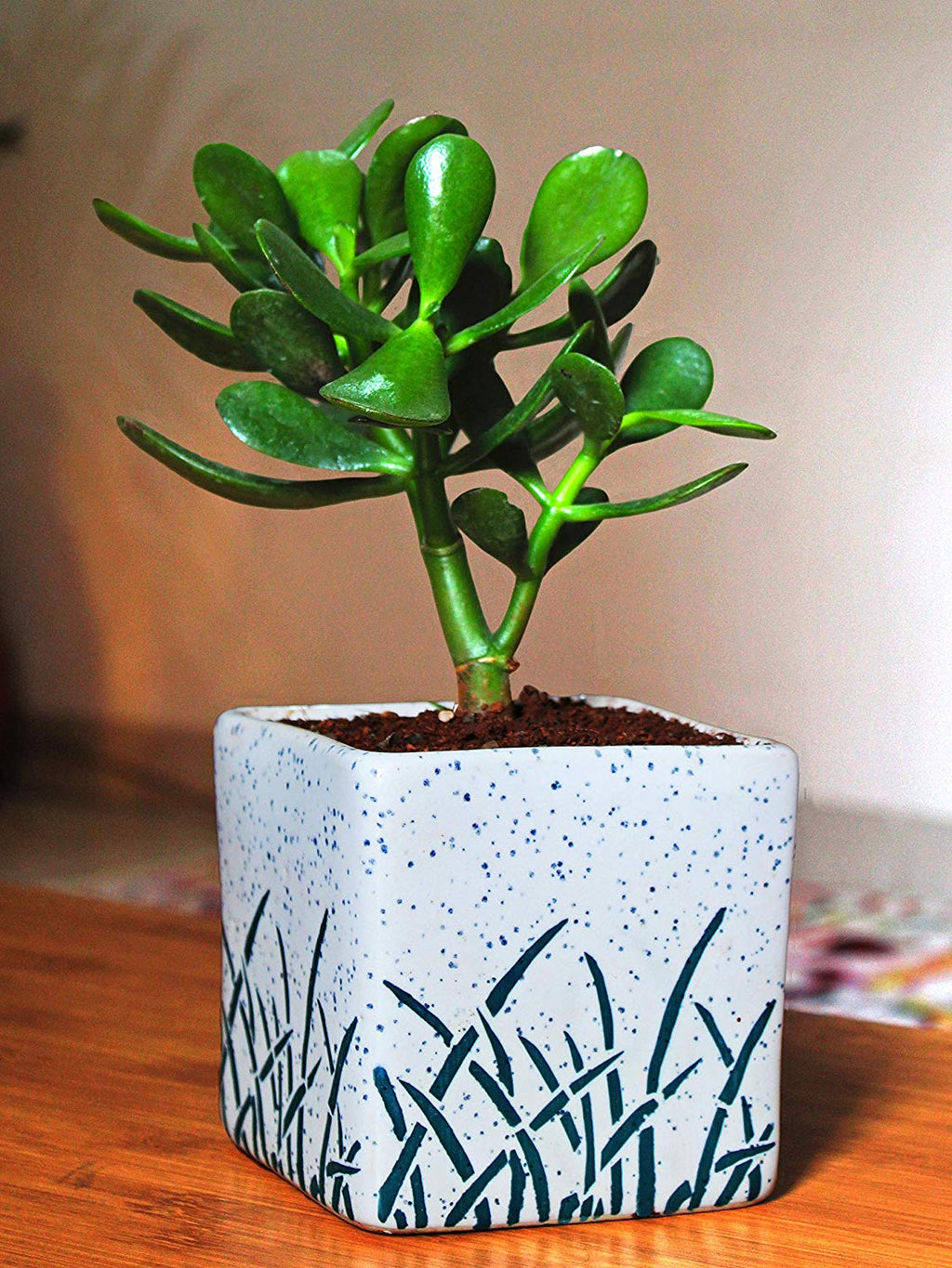 Air Purifying Good Luck Live Natural Plants in Exquisite Ceramic Pots. Best Indoor Plants online in India. Best green gifts for corporate or any occasions. Love plants as gifts. Crassula Jade quality houseplants shipped all over India.