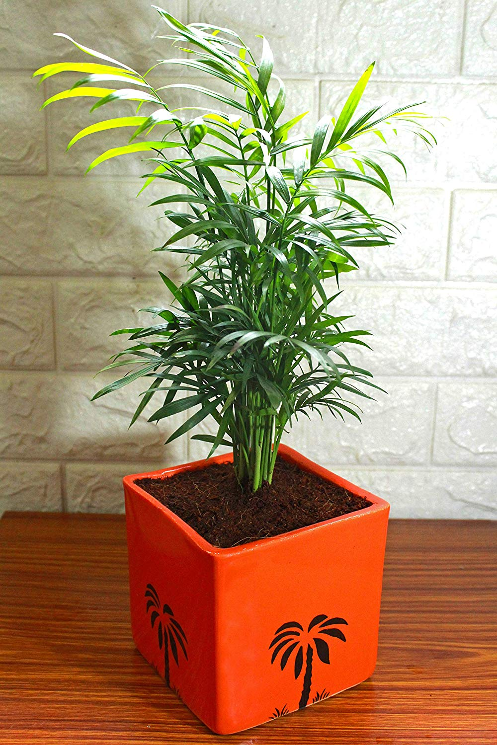 Air Purifying Parlour Palm Chamaedorea Elegans in Orange Cube Aroez Ceramic Pot