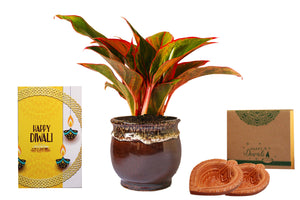 Rolling Nature Diwali Gift Combo of Good Luck Air Purifying Red Aglaonema Siam Aurora Chinese Evergreen Plant In Brown Drip Glazed Pitcher Ceramic Pot