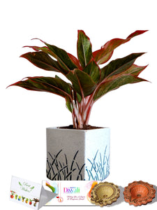 Rolling Nature Diwali Gift Combo of Red Aglaonema Siam Aurora Chinese Evergreen Plant In White Cube Aroez Ceramic Pot