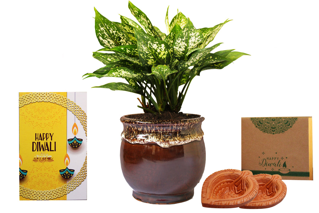 Rolling Nature Diwali Gift Combo of Good Luck Air Purifying Green Aglaonema Snow White Chinese Evergreen Plant in Brown Drip Glazed Pitcher Ceramic Pot