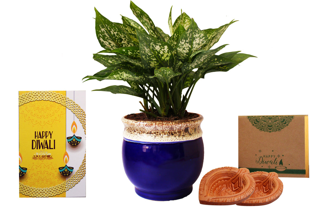 Rolling Nature Diwali Gift Combo of Good Luck Air Purifying Green Aglaonema Snow White Chinese Evergreen Plant in Blue Drip Glazed Pitcher Ceramic Pot