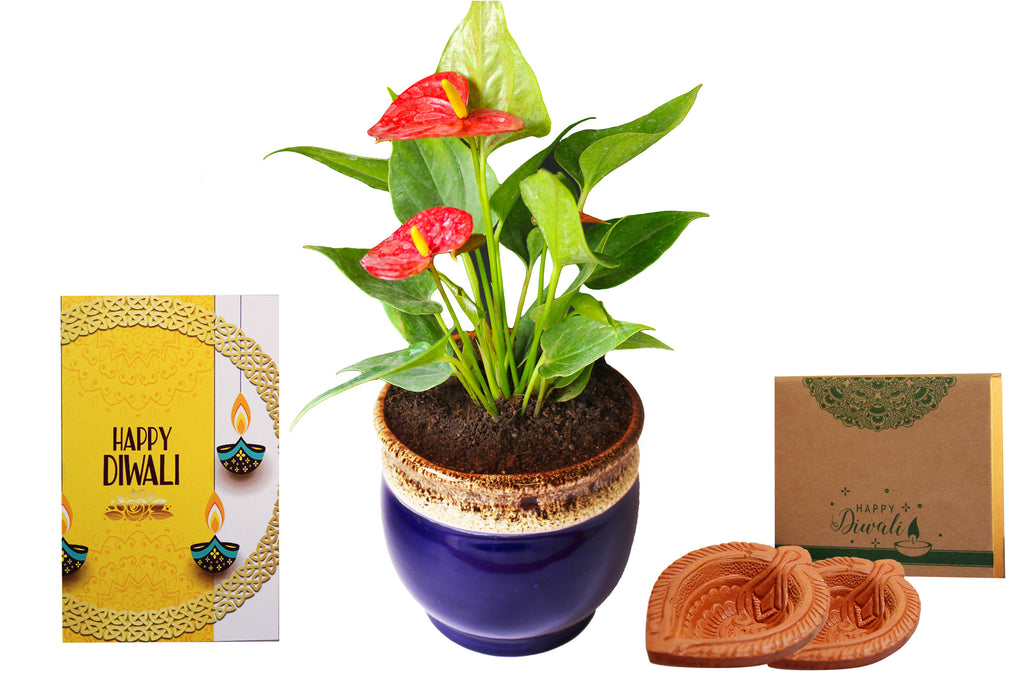 Rolling Nature Diwali Gift Combo of Good Luck Air Purifying Exotic Anthurium Red Plant in Blue Drip Glazed Pitcher Ceramic Pot