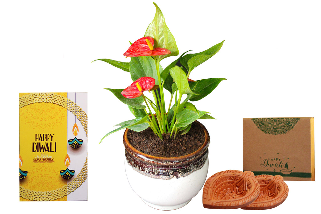 Rolling Nature Diwali Gift Combo of Good Luck Air Purifying Exotic Anthurium Red Plant in White Drip Glazed Pitcher Ceramic Pot