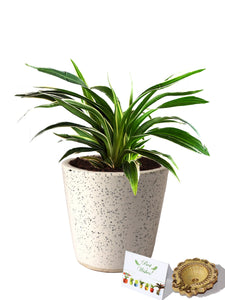 Rolling Nature Diwali Gift Combo of Air Purifying Spider Plant in White Dew Bucket Ceramic Pot