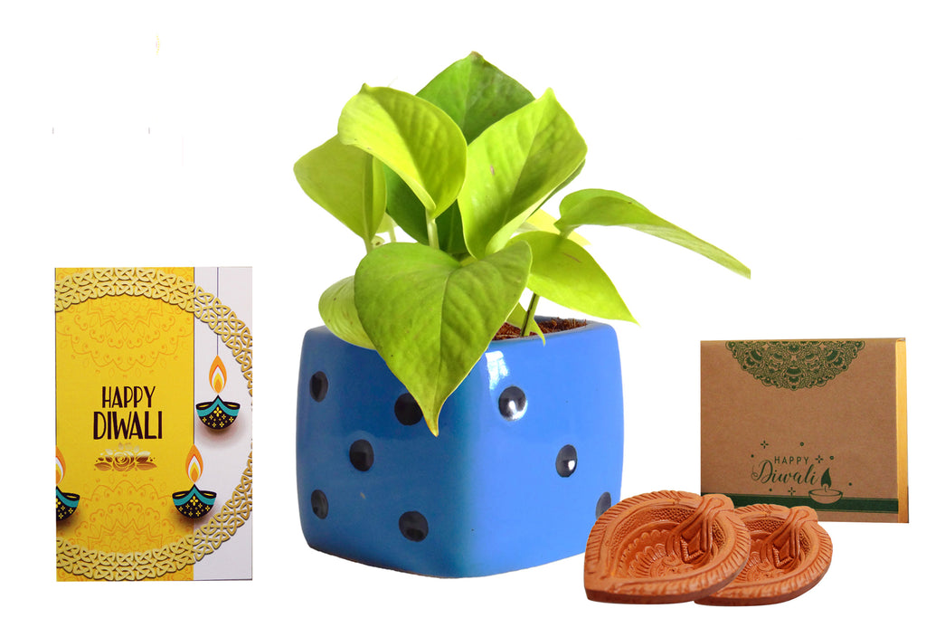 Rolling Nature Diwali Gift Combo of Good Luck Air Purifying Golden Money Plant in Blue Dice Ceramic Pot