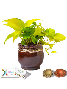 Rolling Nature  Diwali Gift Combo of Good Luck and Air Purifying Golden Money Plant in Brown Drip Glazed Pitcher Ceramic Pot