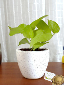Rolling Nature Diwali Gift Combo of Good Luck Air Purifying  Golden Money Plant in White Round Dew Ceramic Pot