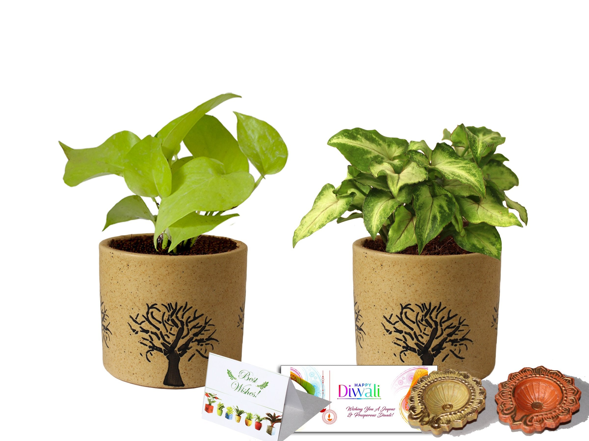 Rolling Nature Diwali Gift Combo of Good Luck Air Purifying Live Golden Pothos and Green Syngonium Plant in Brown Barrel Aroez Ceramic Pot