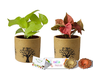 Rolling Nature Diwali Gift Combo of Good Luck Air Purifying Live Golden Pothos and Pink Syngonium Plant in Brown Barrel Aroez Ceramic Pot