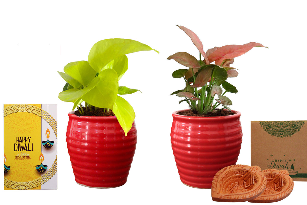 Rolling Nature Diwali Gift Combo of Good Luck Air Purifying  Golden Pothos and Pink Syngonium Plant in Red Ceramic Pot