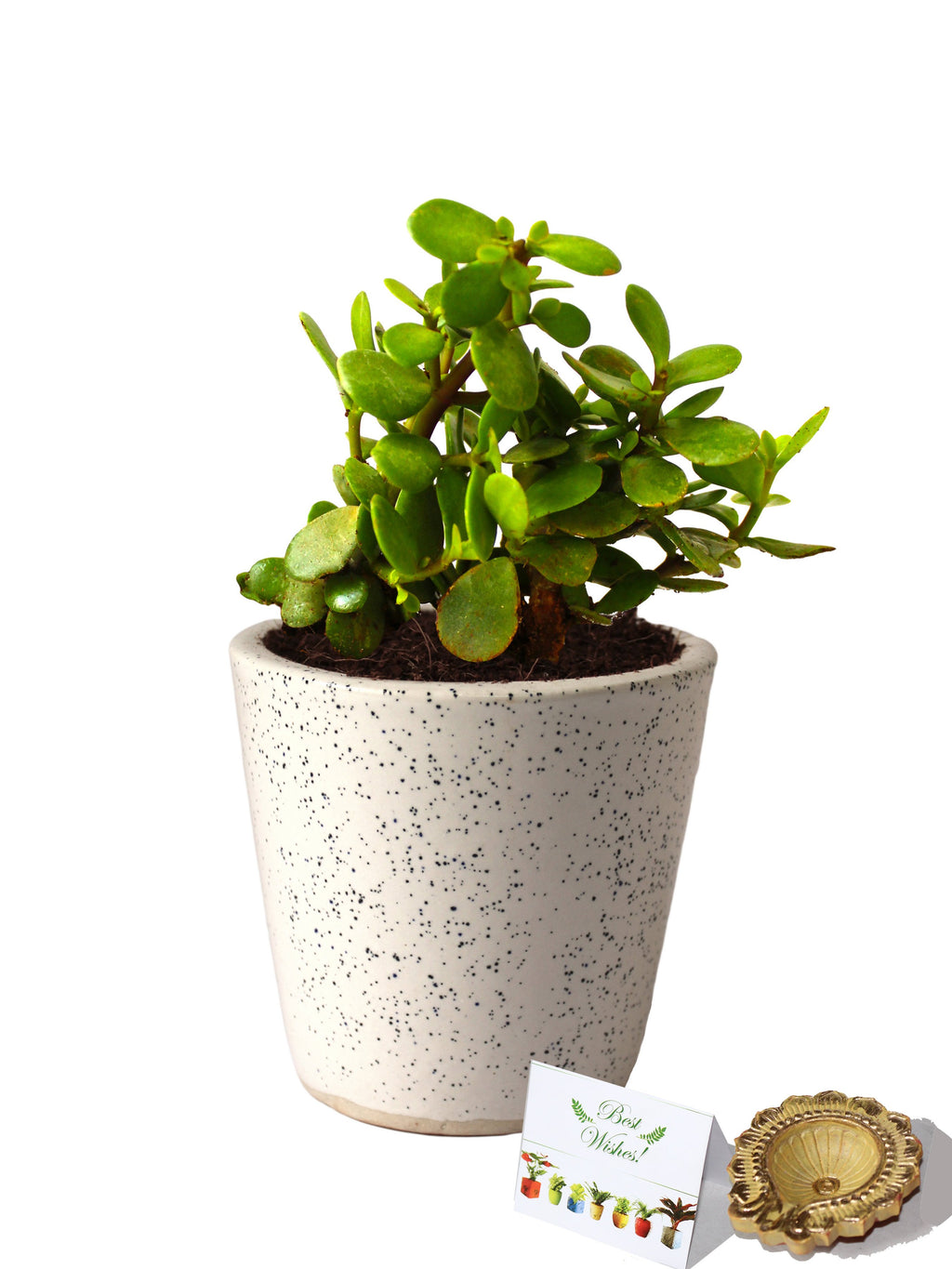 Rolling Nature Diwali Gift Combo of Good Luck Live Jade Plant in White Bucket Dew Ceramic Pot