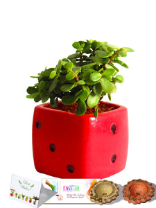 Rolling Nature Diwali Gift Combo of Good Luck Jade Plant in Red Dice Ceramic Pot