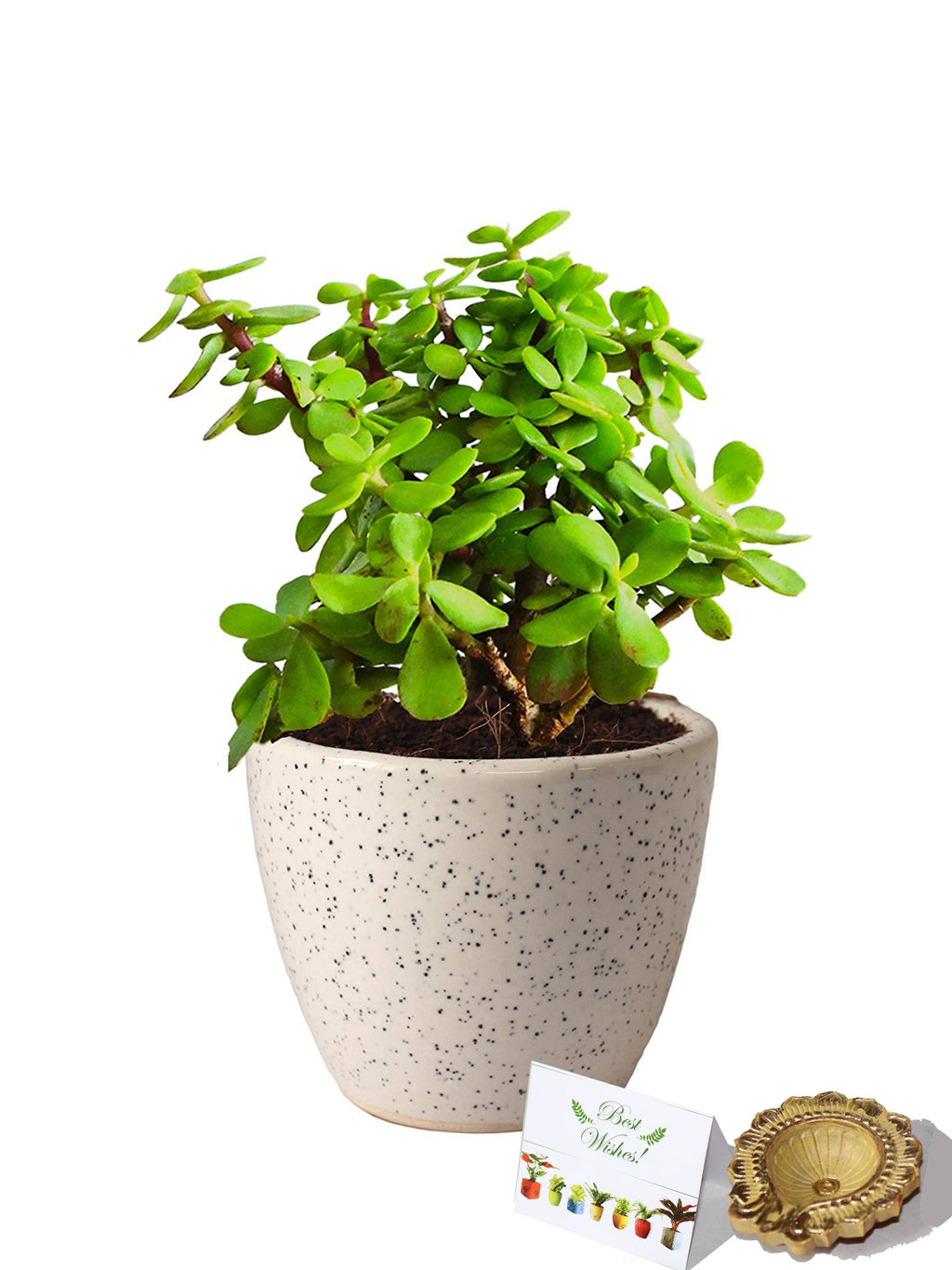 Rolling Nature Diwali Gift Combo of Good Luck Good Luck Jade Plant In Round Dew Ceramic Pot