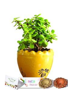 Rolling Nature Diwali Gift Combo of Good Luck Jade Plant In Yellow Ruffel Aroez Ceramic Pot