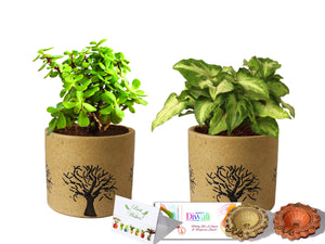 Rolling Nature Diwali Gift Combo of Good Luck Live Jade and Green Syngonium Plant in Brown Barrel Aroez Ceramic Pot
