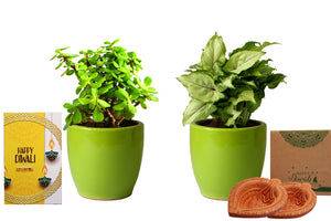 Rolling Nature Diwali Gift Combo of Good Luck  Jade and Green Syngonium Plant in Green Pear Ceramic Pot