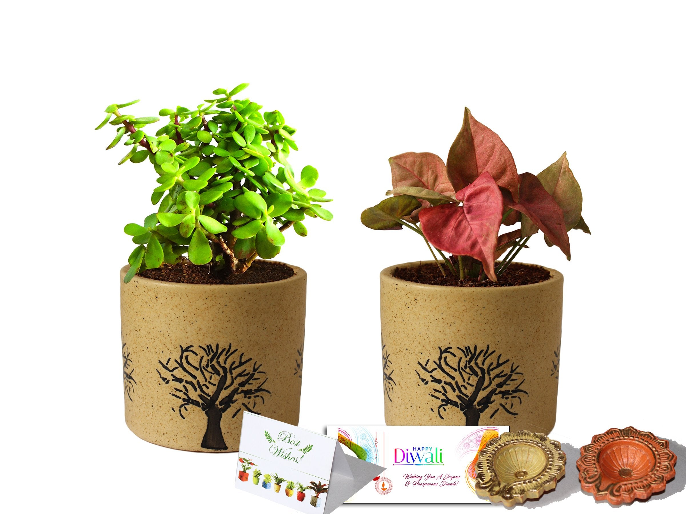 Rolling Nature Diwali Gift Combo of Good Luck Air Purifying Jade and Pink Syngonium Plant in Brown Barrel Aroez Ceramic Pot