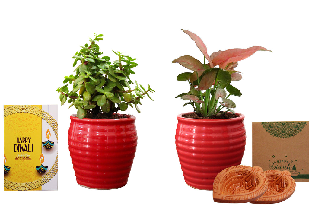 Rolling Nature Diwali Gift Combo of Good Luck  Jade and Pink Syngonium Plant in Red Ceramic Pot