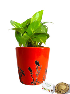 Rolling Nature Diwali Gift Combo of Good Luck Money Plant in Orange Bucket Aroez Ceramic Pot