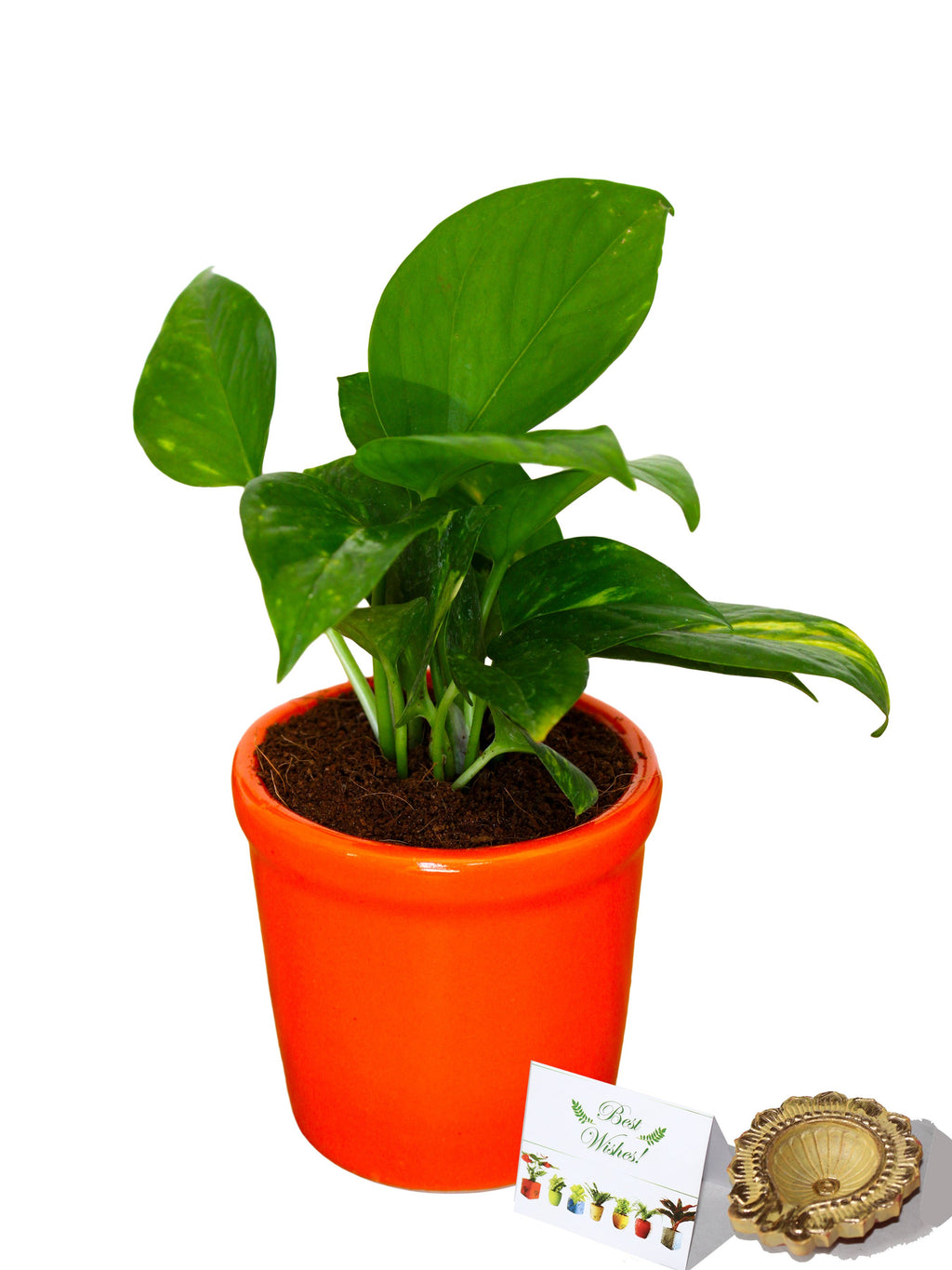 Rolling Nature Diwali Gift Combo of Good Luck Air Purifying Money Plant in Orange Jar Ceramic Pot