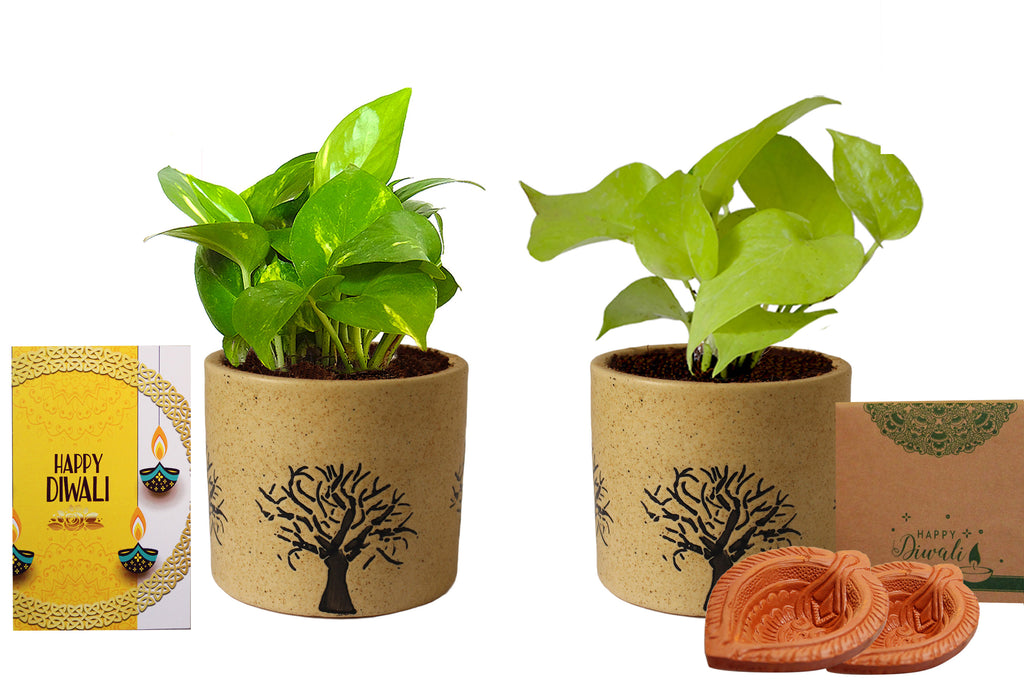 Rolling Nature Diwali Gift Combo of Good Luck Air Purifying Live Money Plant and Golden Pothos in Brown Barrel Ceramic Aroez Pot