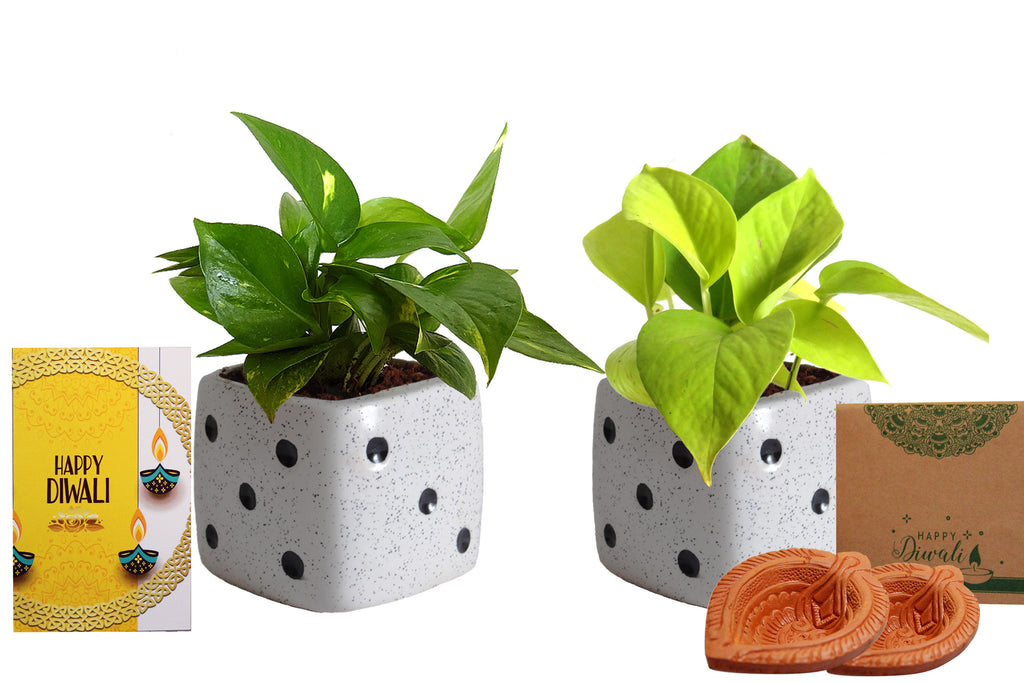 Rolling Nature Diwali Gift Combo of Good Luck Air Purifying Live Money Plant and Golden Money Plant in White Dice Ceramic Pot
