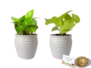Rolling Nature Diwali Gift Combo of Good Luck Money Plant and Golden Pothos in White Ceramic Pot