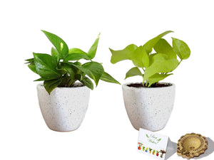 Rolling Nature Diwali Gift Combo of Good Luck Air Purifying  Money Plant and Golden Money Plant in White Round Dew Ceramic Pot