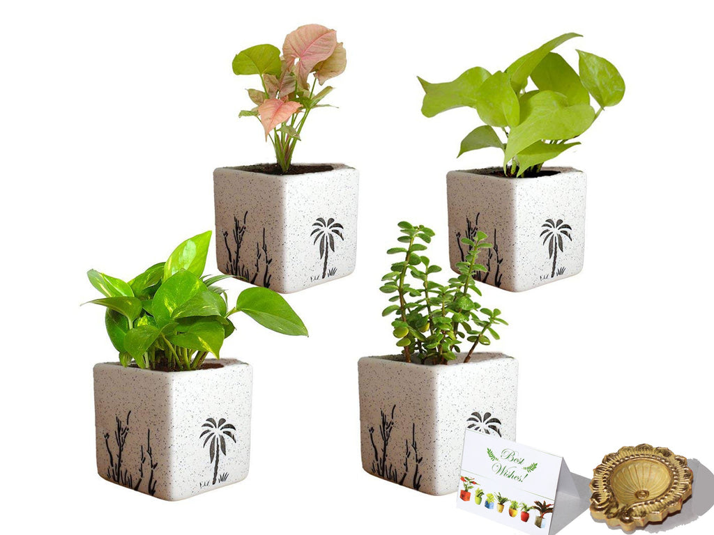 Rolling Nature Diwali Gift Combo of Good Luck Air Purifying  Money Plant Golden Pothos Syngonium Pink and Jade in White Square Aroez Ceramic Pot