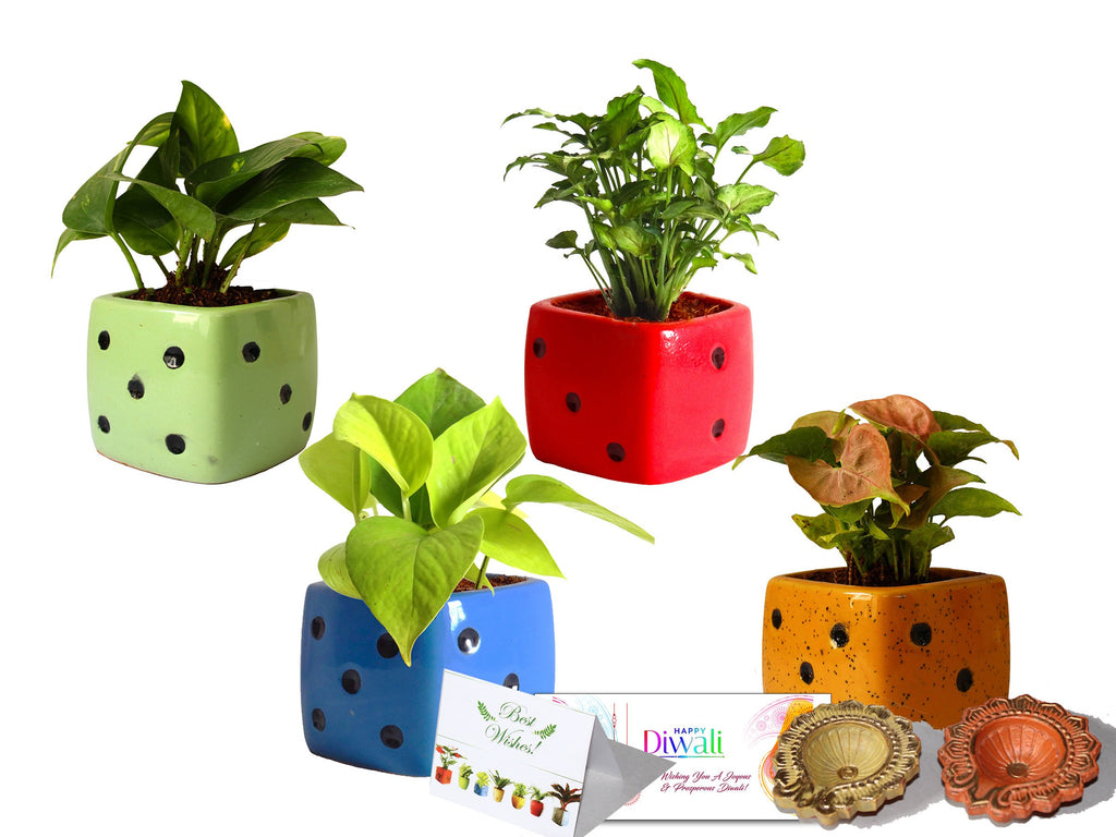 Rolling Nature Diwali Gift Combo of 4 Air Purifying Live Money Plant, Golden Pothos, Green Syngonium and Pink Syngonium in Assorted Colors Dice Ceramic Pots
