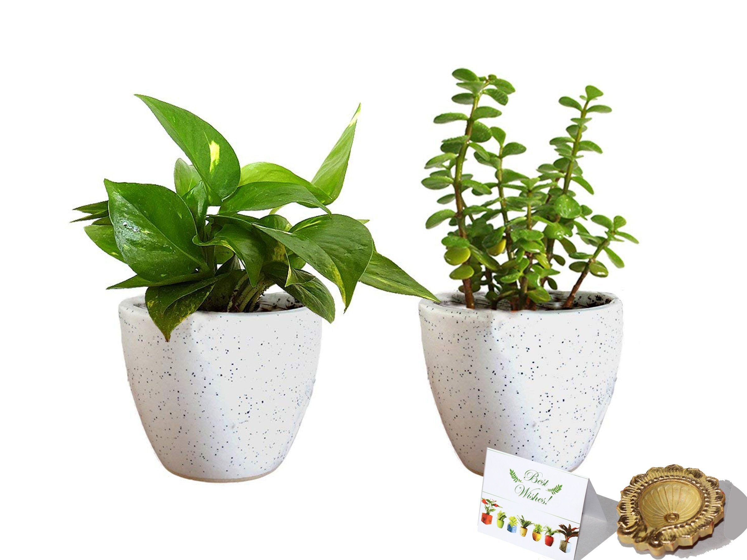 Rolling Nature Diwali Gift Combo of Good Luck  Money Plant And Jade Plant In White Round Dew Ceramic Pot